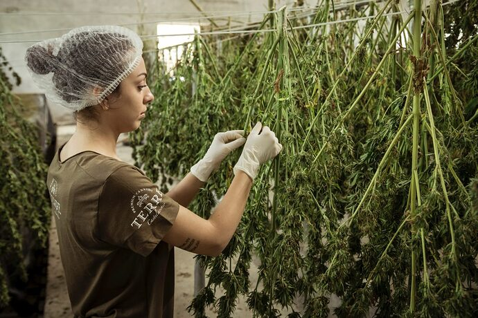 terre-di-cannabis-FIOiHwB71_k-unsplash-1536x1024