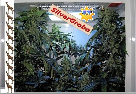 SilverGroboColas..1a~~