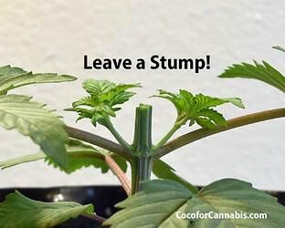 Cannabis-Mainline-Topping-Stump..--