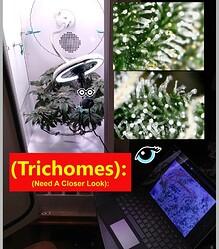 Trichomes..1a~~