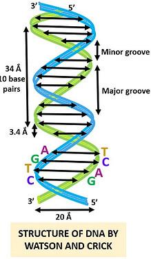 DNA-model..~~