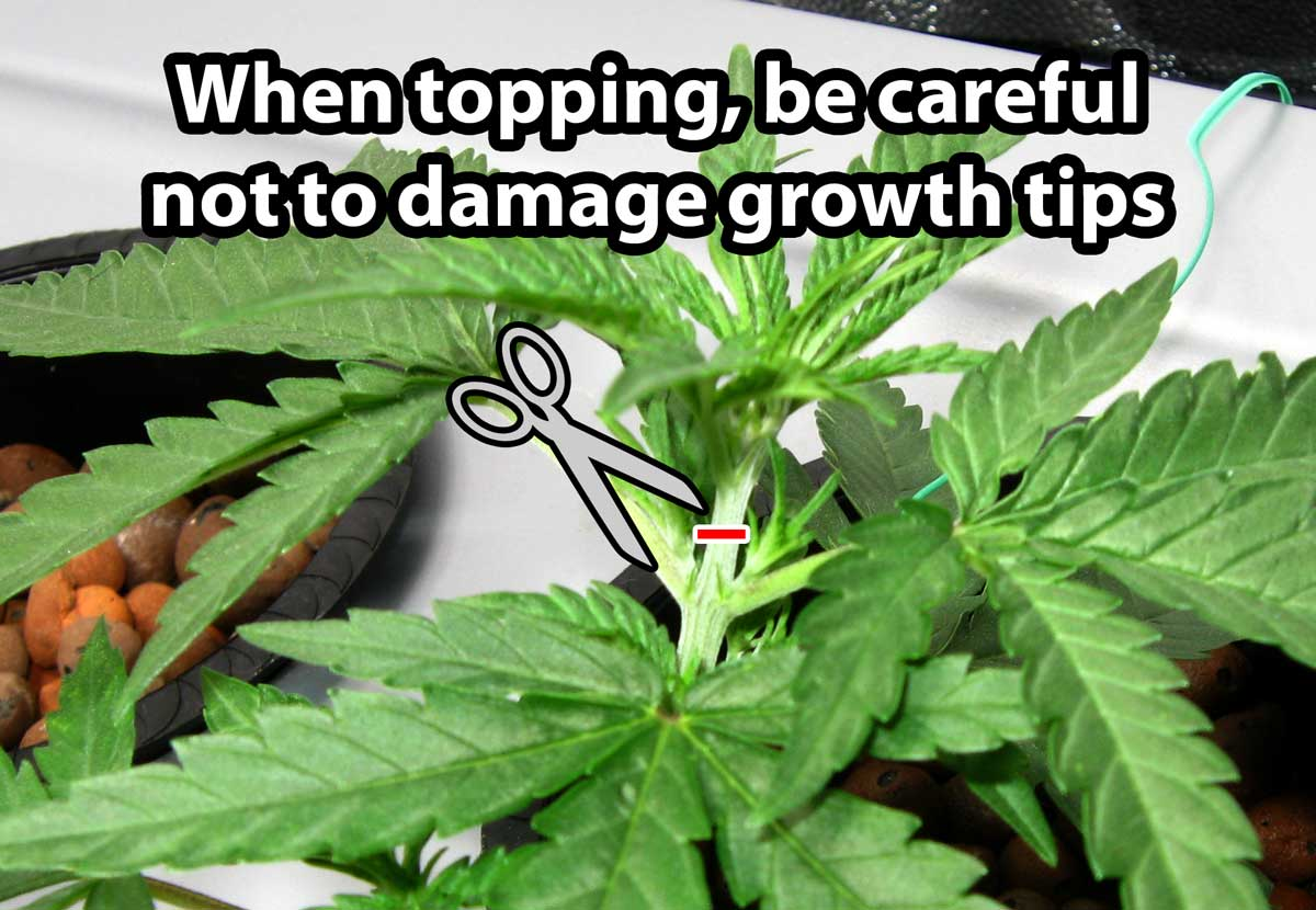 topping-without-hurting-growth-tips