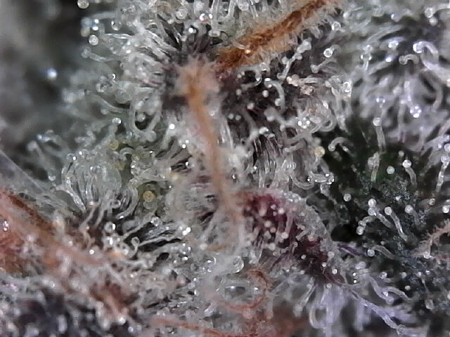 Day 118 Flush Day 7 of 10 Trichomes 3