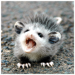 possum..1~~