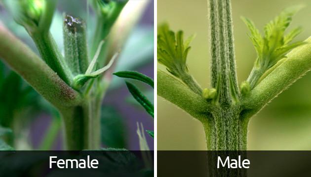 How-Can-I-Spot-Emerging-Cannabis-Flowers__KsXGtwJhF8Vj3AWA